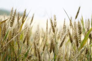 Weizenfeld - Titelbild zu Blogartikel Bioplastik